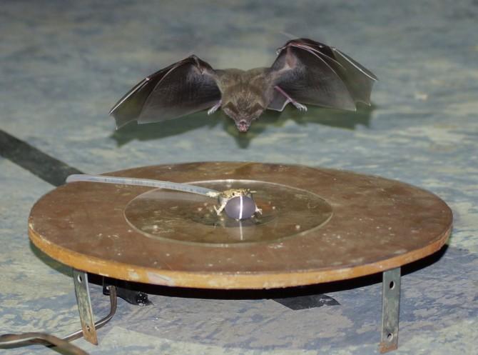 박쥐가 노래주머니를 부풀리고 있는 개구리를 공격하고 있다. - 스미소니언 열대 연구소 제공